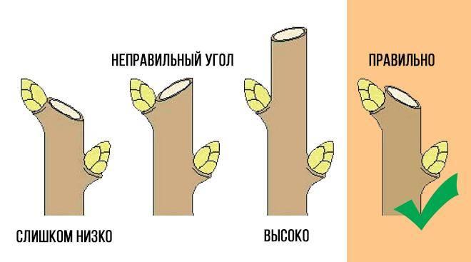 Схема обрезки черенков
