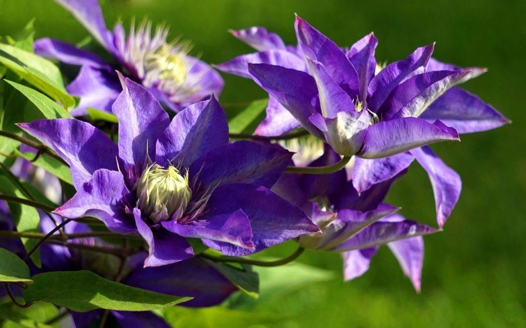 Клематис не цветет