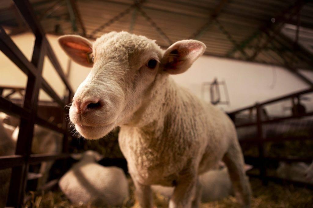 Сарай для овец
