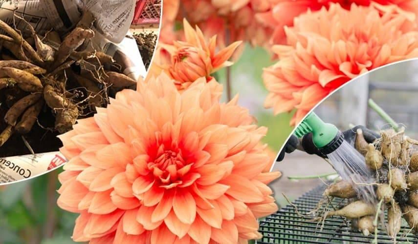 Георгины осенью что делать? советы цветоводов по подготовке клубней георгин к зиме.
