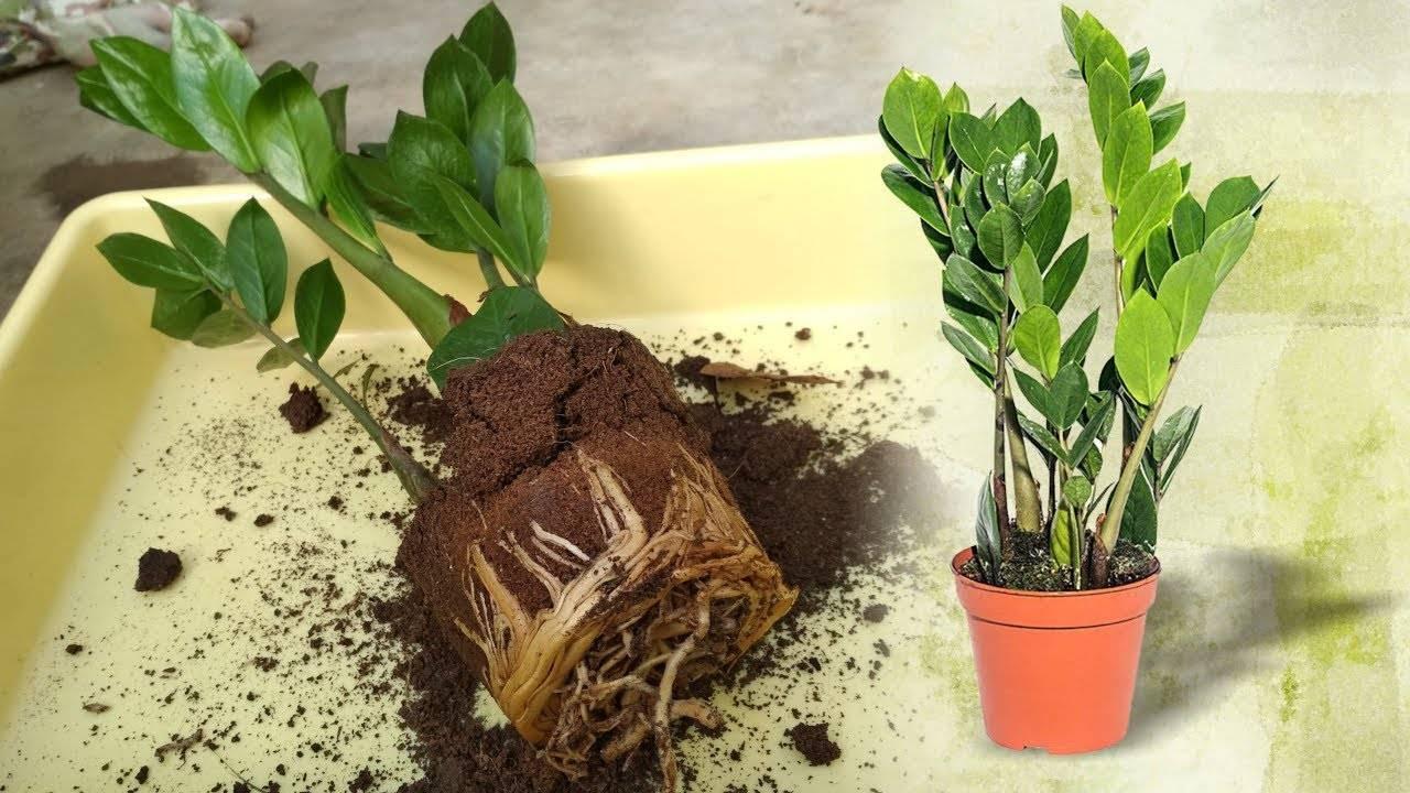 Замиокулькас: все нюансы ухода за долларовым деревом в домашних условиях + фото и видео