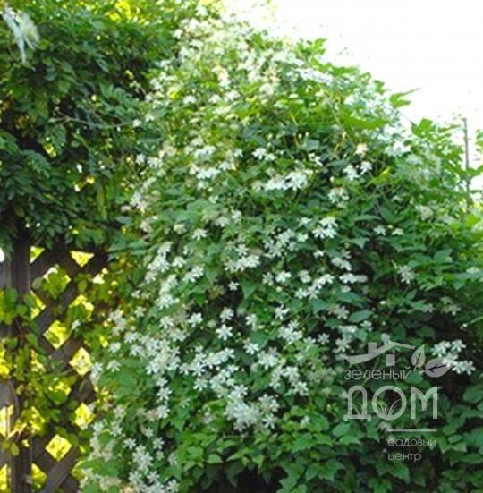 Клематис виноградолистный (24 фото): описание ломоноса винограднолистного. посадка, уход и размножение