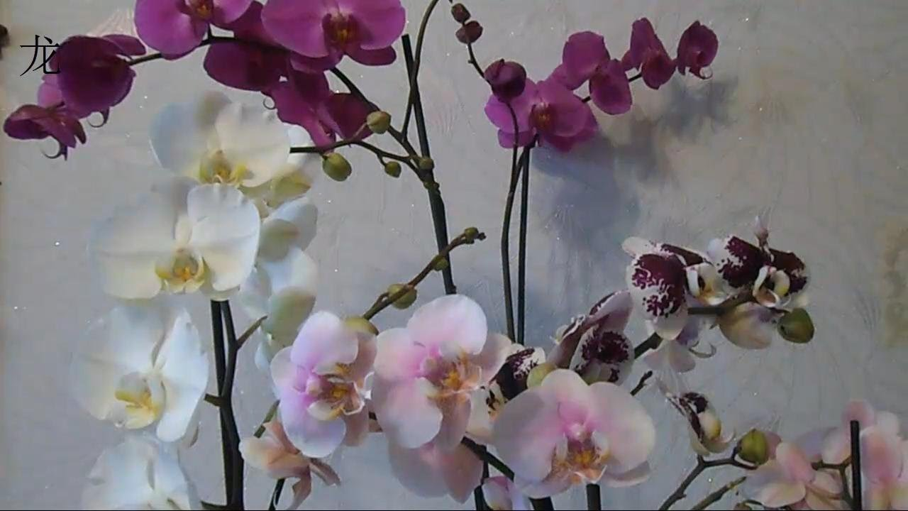 Не цветет фаленопсис. почему и как создать комфортные условия?