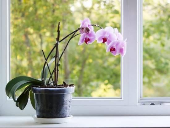Орхидея фаленопсис: как ухаживать за цветком-бабочкой после покупки