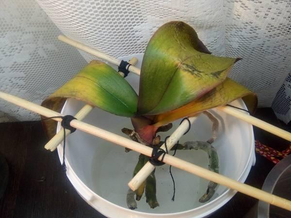 Уход за орхидеями - янтарная кислота для орхидей, как применять, пропорции для полива