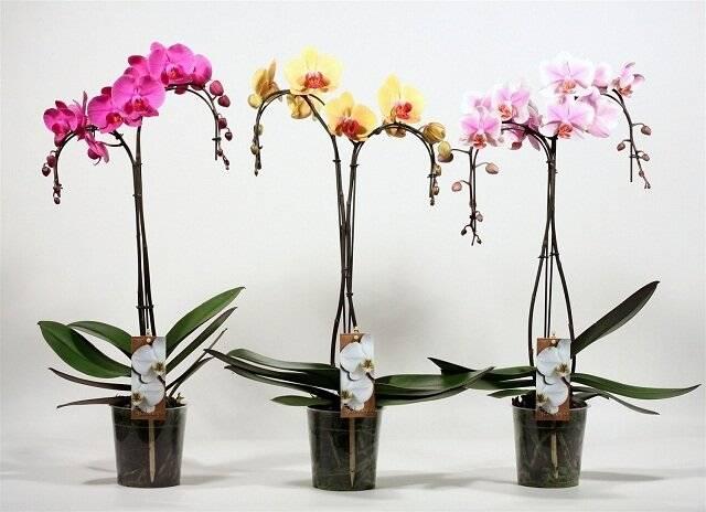 Орхидея (фаленопсис). как ухаживать после покупки