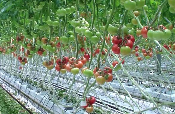 Как выращивать томаты на гидропонике