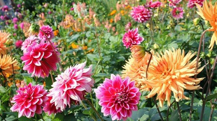 Когда выкапывать георгины осенью и как хранить зимой, чтобы яркие цветы ежегодно поражали нас красотой |