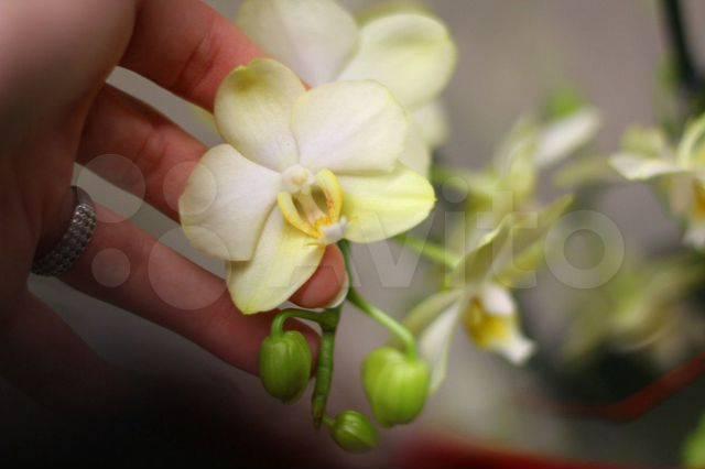 Орхидея фаленопсис: виды фаленопсис, характеристика и описание