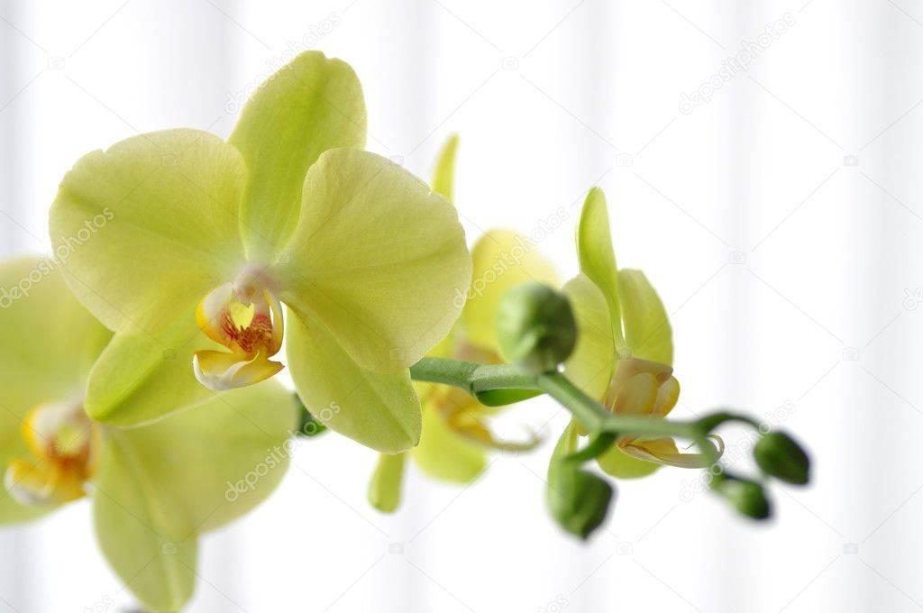 Королевские орхидеи: среда обитания, виды и выращивание