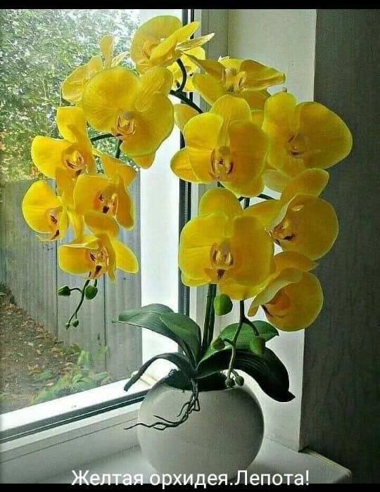 Зеленые орхидеи (16 фото): описание орхидей рода фаленопсис желто-зеленого и светло-зеленого цвета, правила ухода