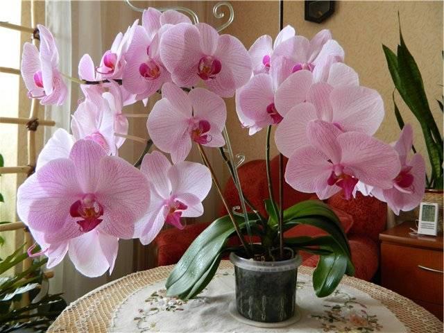Такие разные виды орхидей фаленопсис