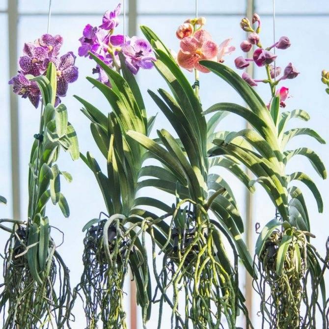 Разбираемся, как реанимировать засохшую орхидею