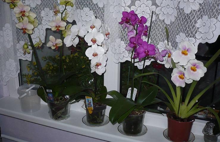 Можно ли пересаживать орхидею зимой: в декабре, январе, феврале, а также цветущую?