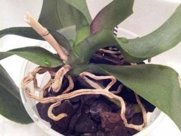Что делать с воздушными корнями у орхидеи при пересадке, если их много или остались только сухие?