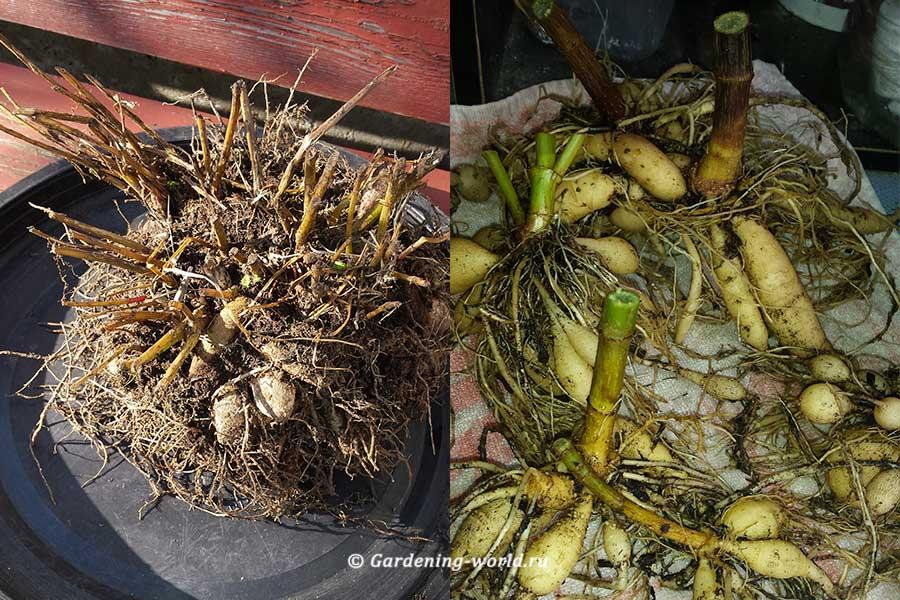 Когда выкапывать и как хранить георгины зимой? подготовка клубней к хранению, способы хранения в домашних условиях