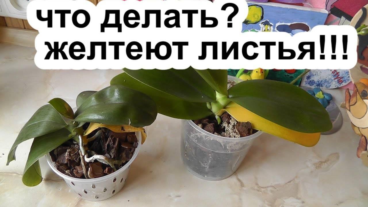 У орхидей желтеют листья нижние — почему и как спасти: описание с фото, причины и лечение, уход в домашних условиях, что делать, если теряют тургор и отвалились selo.guru — интернет портал о сельском хозяйстве