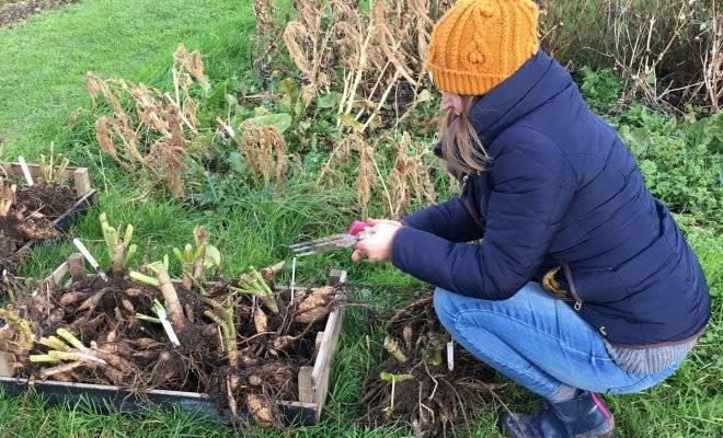 Как хранить георгины зимой? 25 фото как правильно их выкапывать? в каких условиях можно сохранить клубни до весны? чем обработать после выкопки?