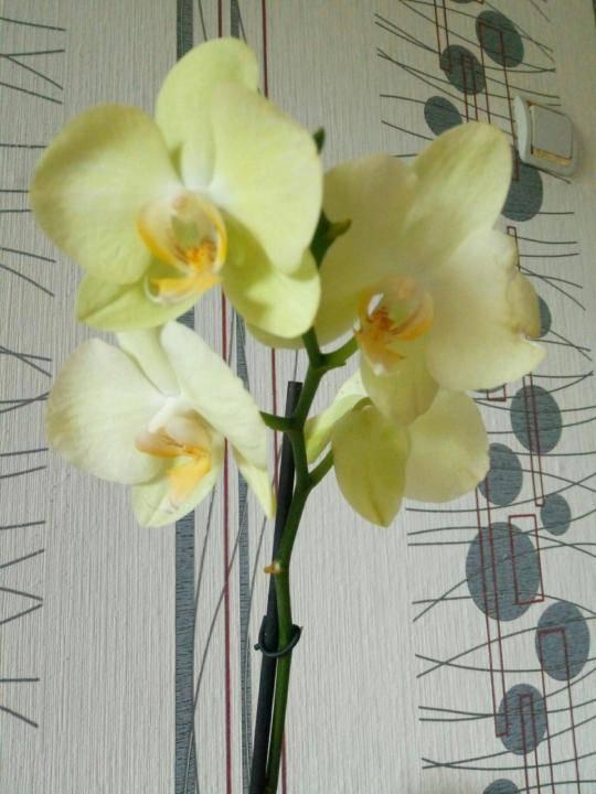 Красные орхидеи (16 фото): особенности орхидеи «красный павлин» и других сортов, описание желто-красных и темно-красных цветов