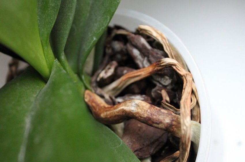 Как реанимировать засохшую орхидею: почему засыхает и что делать, если начали сохнуть стебли и корни, как оживить все засохшие листья и профилактика