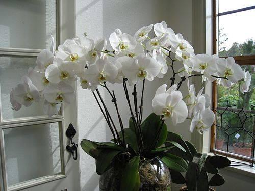 Чесночное лакомство для орхидей: обильный цвет гарантирован