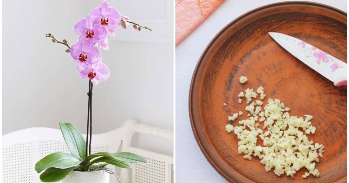 Чесночная вода для орхидей: рецепт приготовления и правильный полив