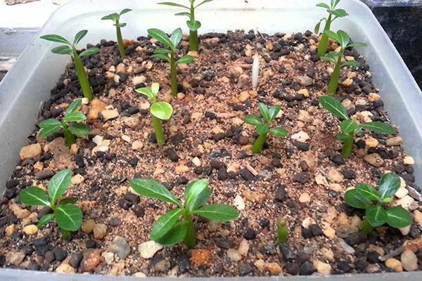 Адениум из семян в домашних условиях: нюансы выращивания, пошаговая инструкция, как правильно провести посадку, а также фото того, как выглядит посевной материалдача эксперт