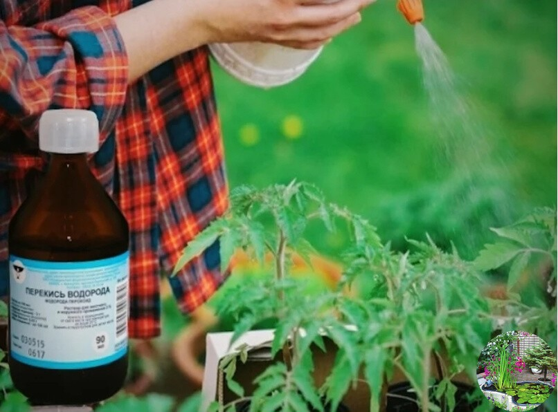 как полить семена перекисью водорода