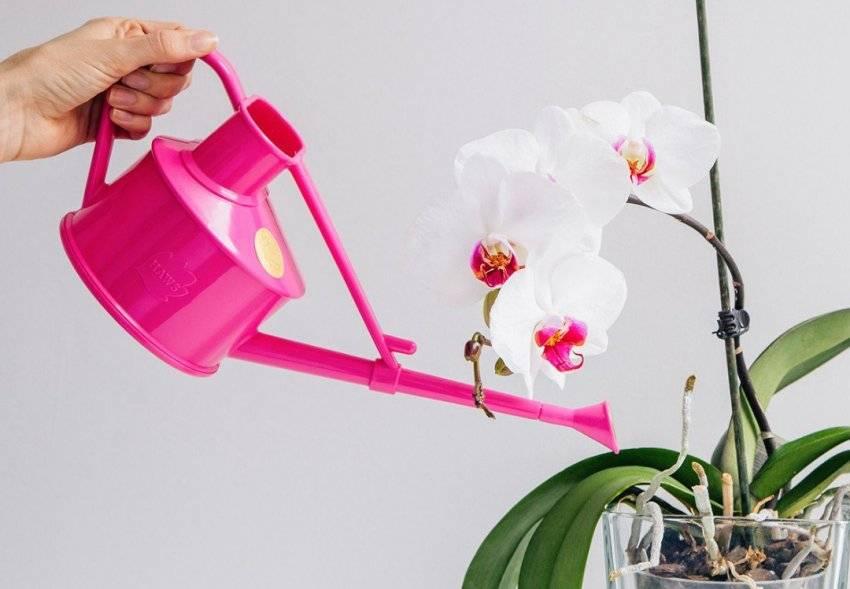 Почему у орхидеи засохли корни: что делать?