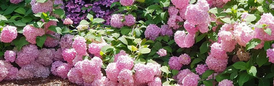 Гортензия: уход осенью, подготовка к зиме в открытом грунте, обрезка