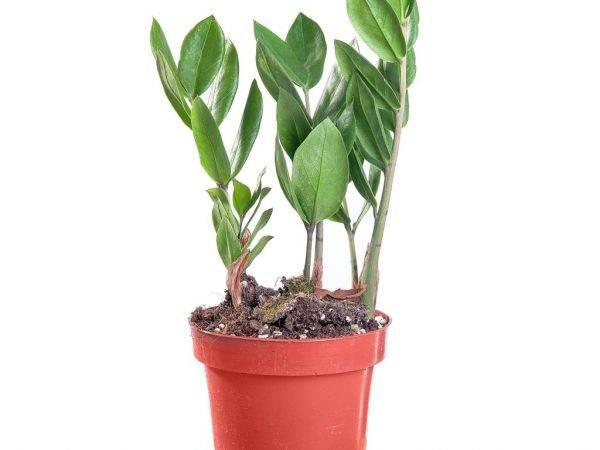 Ядовит ли замиокулькас - комнатные растения. - страна мам