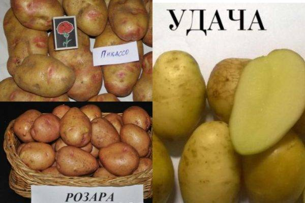Ранние сорта картофеля с описанием и фото