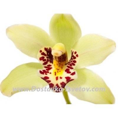 Как выглядят орхидеи в природе: как выращивать цветок в горшке, как должны выглядеть листья, корни и стрелки растения на фото?