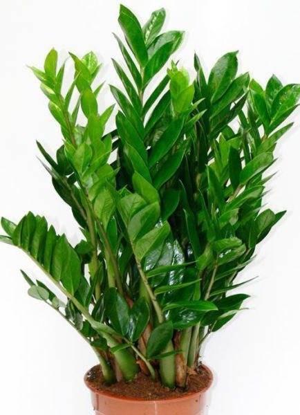 Польза и вред замиокулькаса для человека: полезные свойства долларового дерева для здоровья, а также чем опасен, аллергичен ли суккулент или нет, нужны ли меры предосторожности?