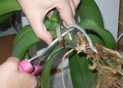Что делать если сохнут корни орхидеи фаленопсис