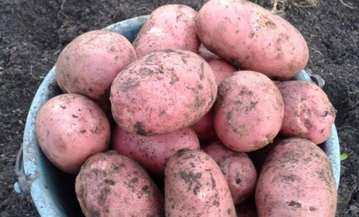 10 лучших сортов картофеля — рейтинг 2020 года (топ 10)