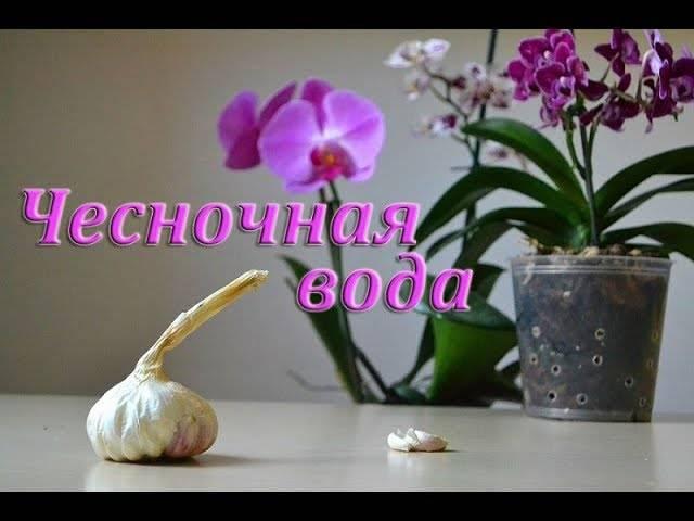 Чесночная вода для орхидей — рецепт, как применять и отзывы