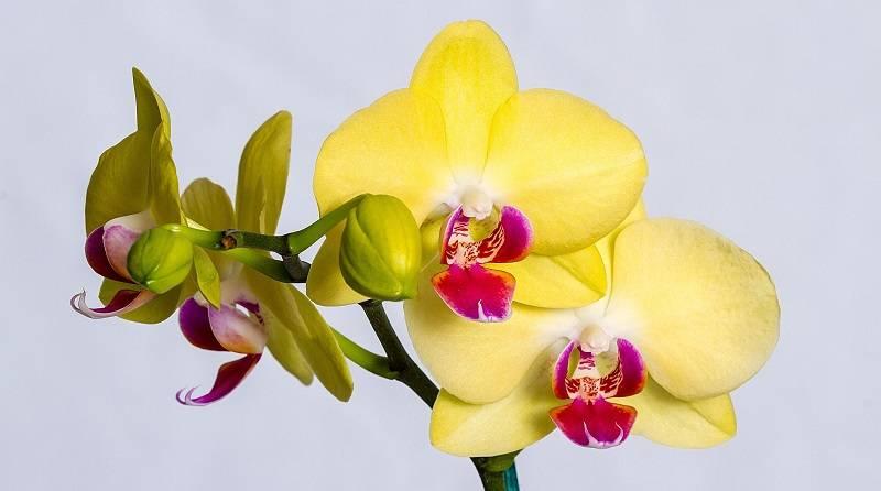 Расскажем о том, как избавиться от мучнистого червеца на орхидее