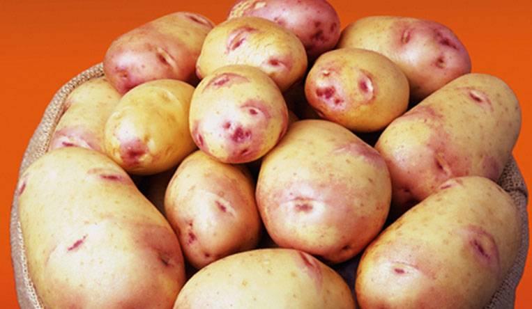 ᐉ сорта картофеля для средневолжского региона: список - roza-zanoza.ru