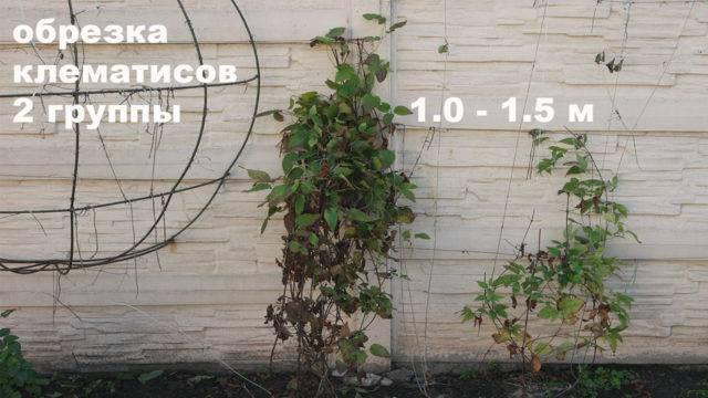 Клематисы: уход осенью, подкормка, обрезка