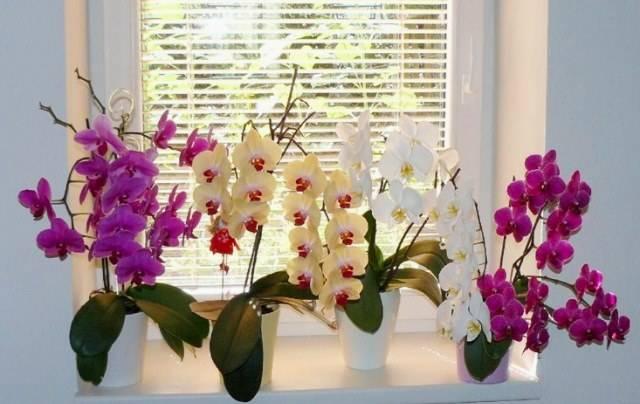 Янтарная кислота для орхидей: как применять для подкормок