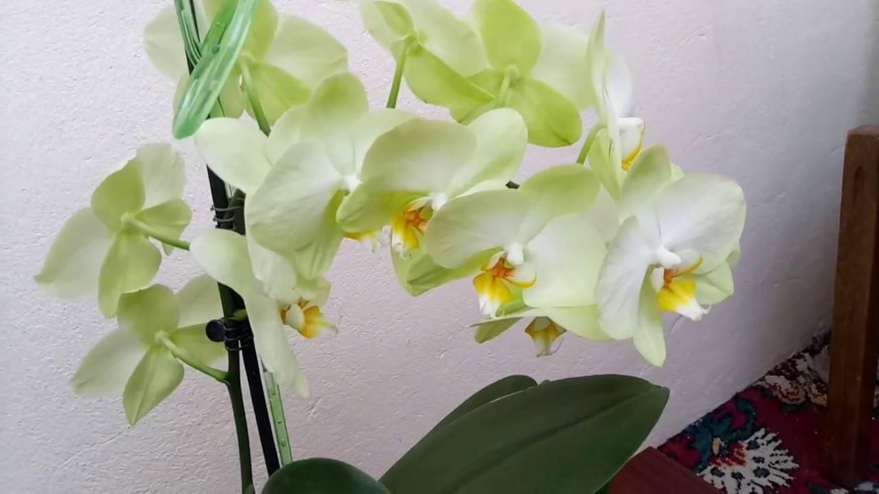 Сорта фаленопсисов: леонтина, лимонная, льюис берри, льюис сакура и каждая орхидея с фото
