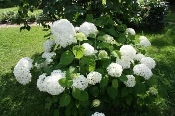 Описание инкредибл: сорта древовидной гортензии, цветение, высота куста