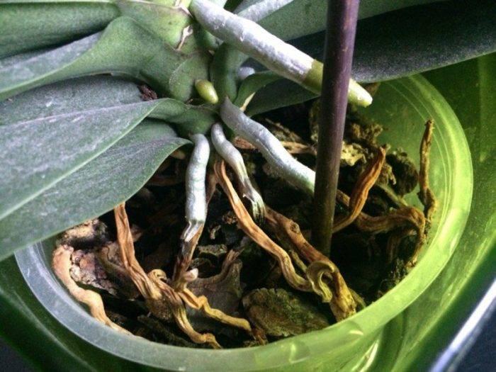 Засохли корни у орхидеи: как спасти и реанимировать растение в домашних условиях и надо ли их обрезать?