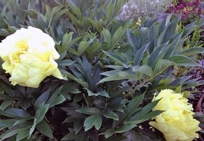 Осеннее удобрение пионов, особенности использования подкормки