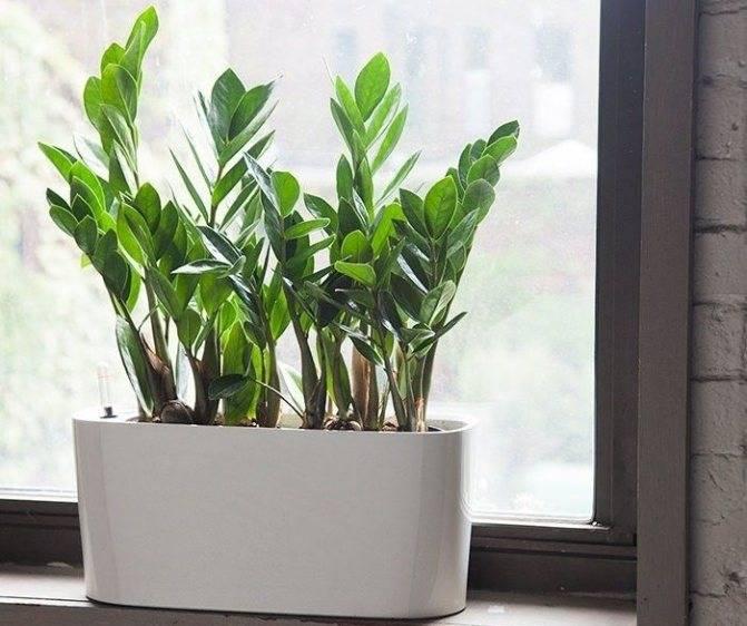 Замиокулькас (долларовое дерево): уход в домашних условиях, фото