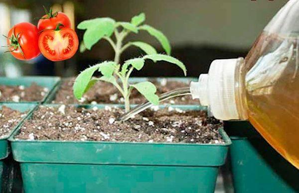 Подкормка томатов – схема, какие удобрения использовать