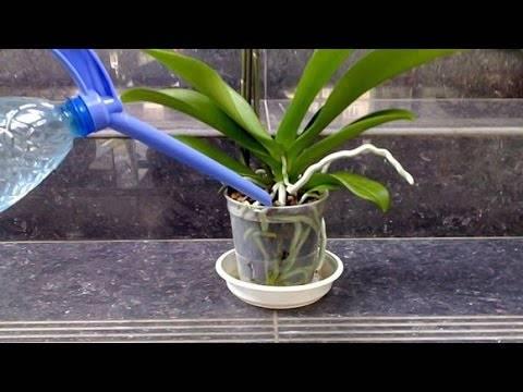 Эффективная подкормка для орхидей — чесночная вода. как приготовить и применять? чем полезно такое средство?