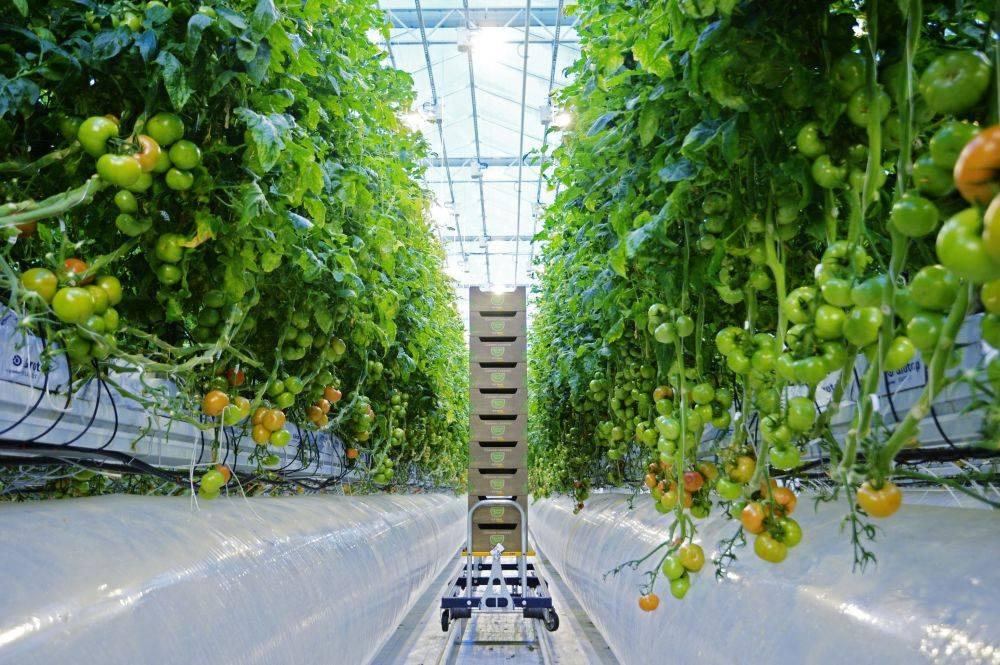 Томаты на гидропонике: выращивание в домашних условиях