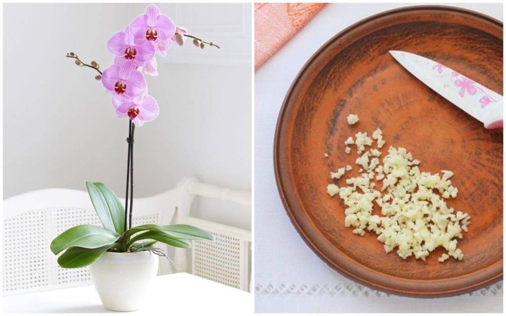 Полив орхидей чесночной водой: польза и противопоказания